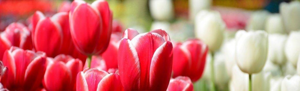wunderschöne Frühlingstulpen im Keukenhof Park in den Niederlanden, Quelle: Rob3rt82/istockphoto