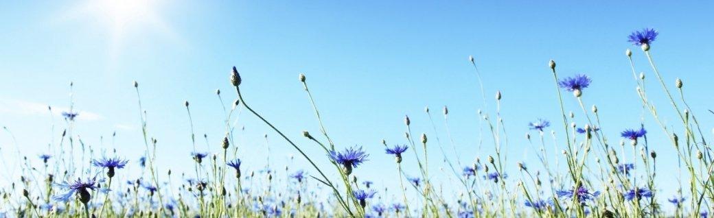 Blue cornflowers, Quelle: ©elenavolkova_iStockphoto