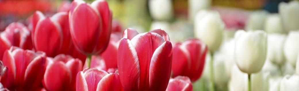 wunderschöne Frühlingstulpen im Keukenhof Park in den Niederlanden, Quelle: ©Rob3rt82/istockphoto