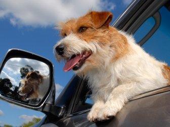 Jack Russell Terrier im Auto Fenster geöffnet. Blauer Himmel.