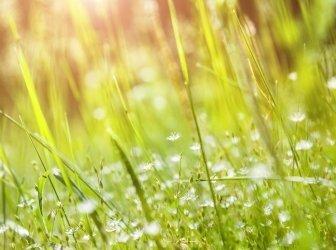 Grünes Gras und kleine weisse Blumen auf einem Feld