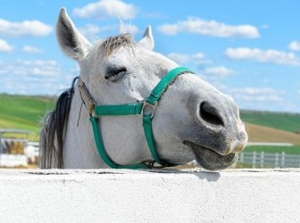 Weisses Pferd mit geschlossenen Augen