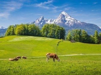 Idyllische Landschaft in den Alpen mit grasenden Kühen im Sommer