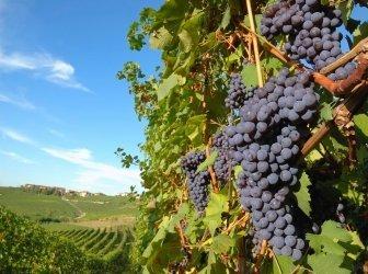 Nebbiolo Trauben bereit für die Ernte