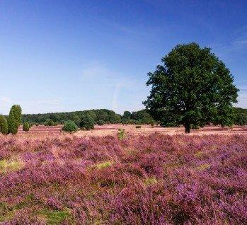 Lüneburger Heide, Quelle: pictureimpressions/ istockphoto