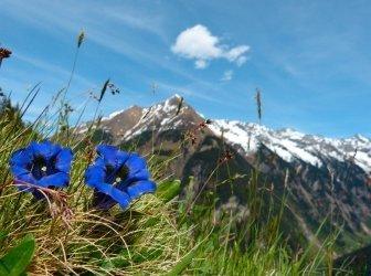 Herbstenzian Bergblumen als Hintergrund.