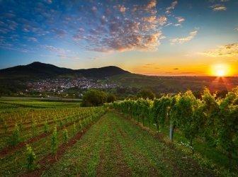 Weinhang mit farbenfrohen Sonnenaufgang in der Pfalz, Deutschland