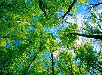 Beech Wald