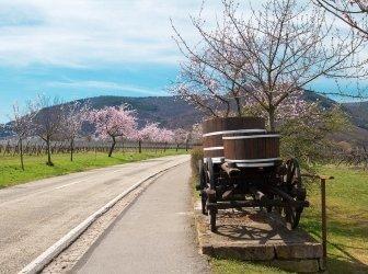 Mandelblüte in der südlichen Pfalz, Rheinland-Pfalz