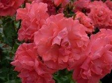 unsere Rosenblüte